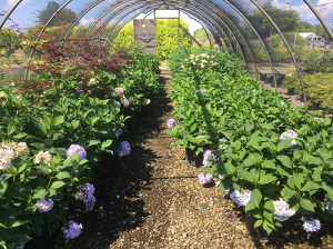 Hydrangeas at Bruce Nurseries