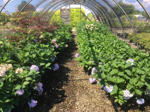 Hydrangeas at Bruce Nurseries