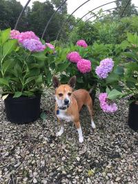 Boone's Pick - Hydrangeas