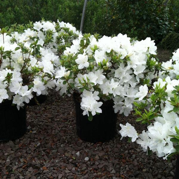 Delaware White Azalea